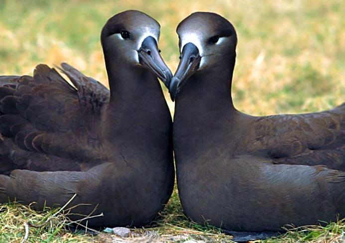 Black-footed-albatross.jpg (51 KB)