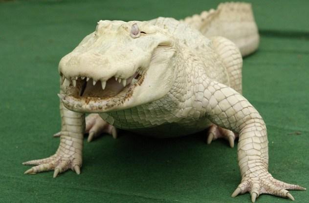 albino-alligator-e1375841433101.jpg (52 KB)