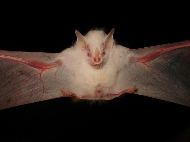 albino-bat-e1375841756528.jpg (32 KB)