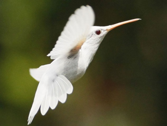 albino-hummingbird-e1375841494469.jpg (37 KB)