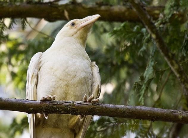 albino-raven1-e1375841701365.jpg (71 KB)