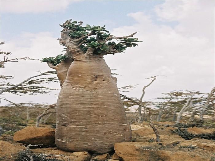 Socotra-Archipelago-11.JPG (446 KB)