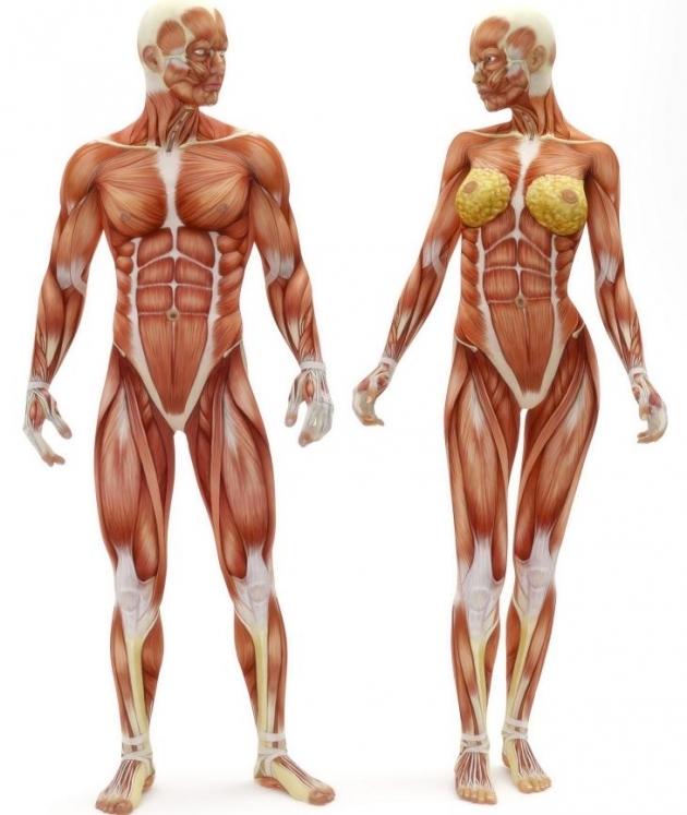 anatomy01 Anatomy.... muscle anatomy