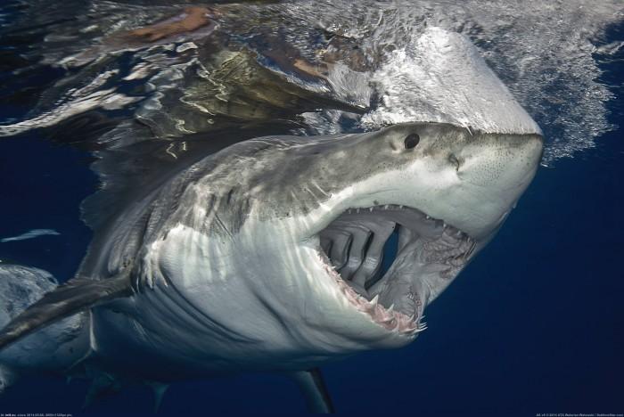 great-white-shark.jpg (278 KB)