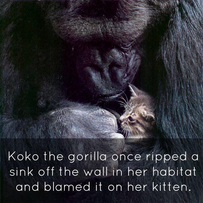 koko Scapecat unlikely scenario signing gorilla Koko