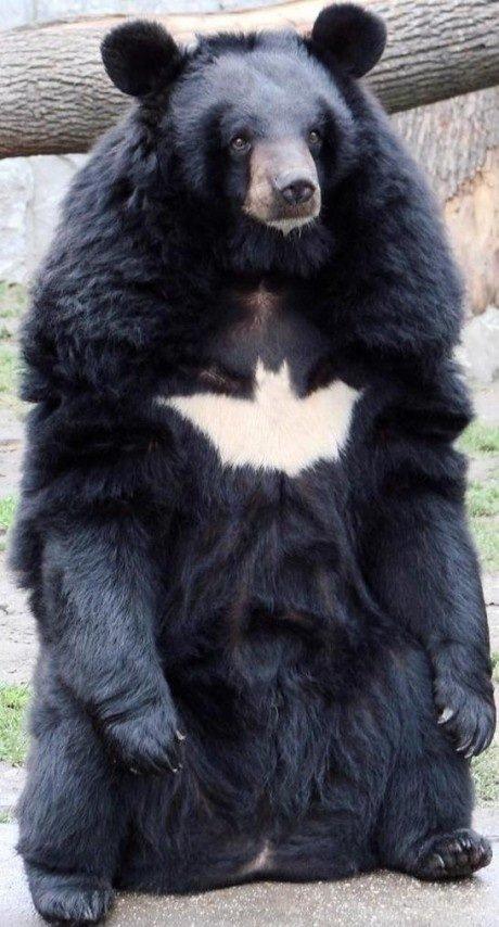 Batbear Bat Bear animals