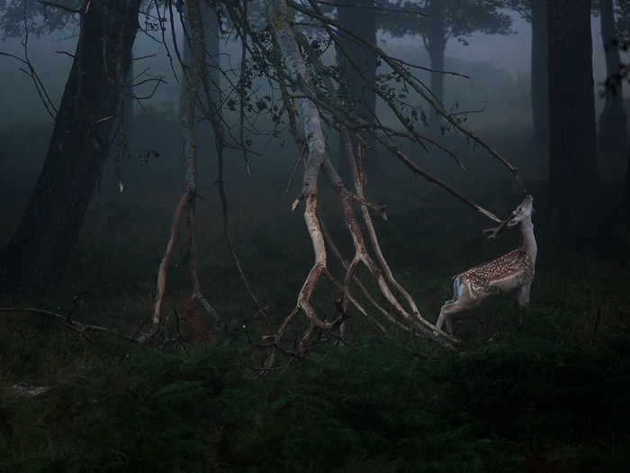 deer-dawn-richmond-park_85289_990x742.jpg (87 KB)