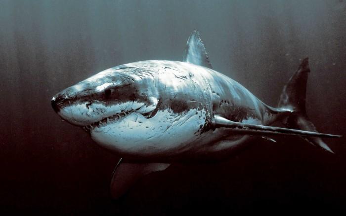 shark-wallpaper-1920x1200.jpg (291 KB)