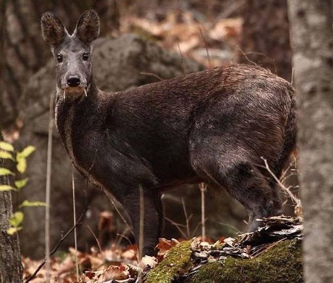 vampire-deer.jpg (77 KB)