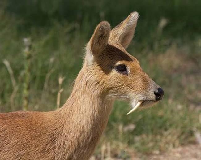 vampire-deer2.jpg (52 KB)