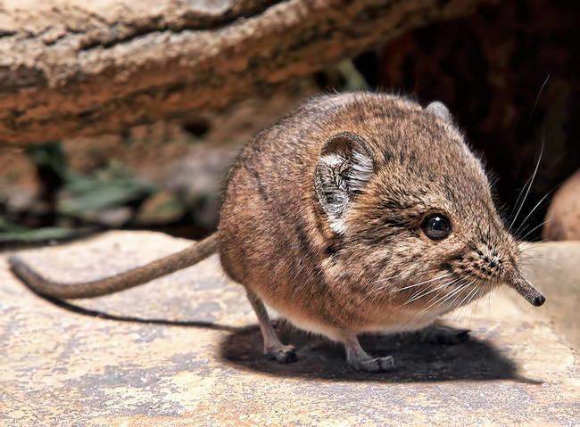round-eared-shrew.jpg (65 KB)