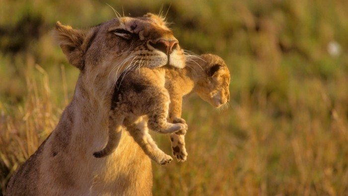 amazing-mother-lion-and-her-baby.jpg (247 KB)