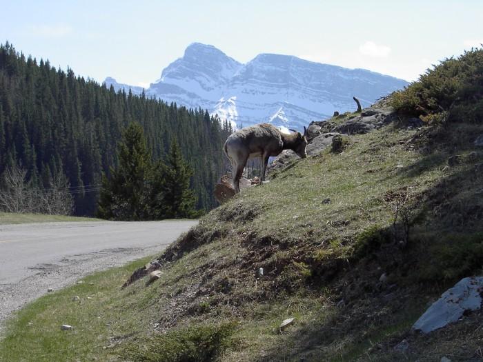 Mountain-Sheep-1.JPG (1 MB)