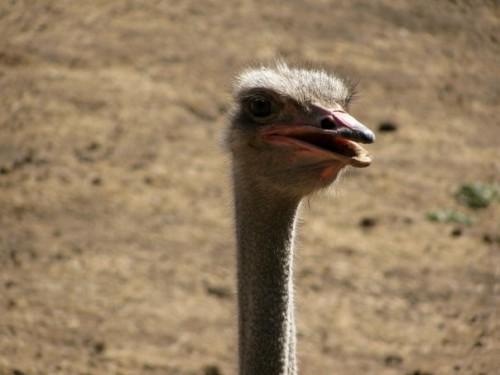 Ostrich 500x375 Beasts