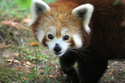 004 500x333 Red panda Wallpaper Cute As Hell Animals