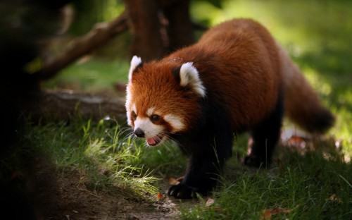1025248778 71cce934ea o 500x312 Red panda Wallpaper Cute As Hell Animals