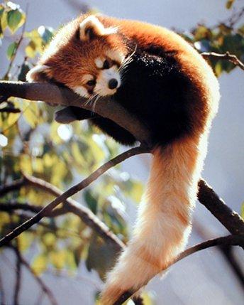 im RedPanda Red panda Wallpaper Cute As Hell Animals