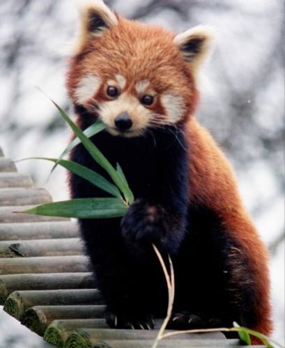 panda1 409x500 Red panda Wallpaper Cute As Hell Animals