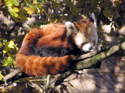 red_panda_main.jpg (46 KB)