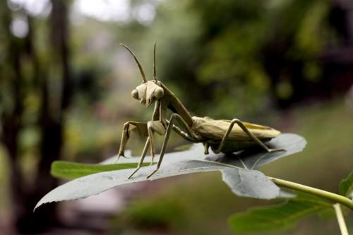 mantis.jpg (76 KB)