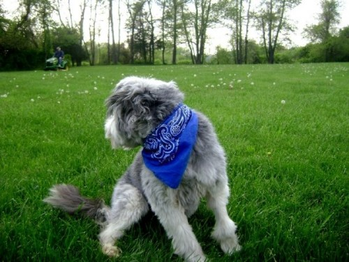 Benson1 500x375 Bearded Collie MCS Pets Cute As Hell Animals