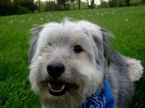 Benson4 500x375 Bearded Collie MCS Pets Cute As Hell Animals
