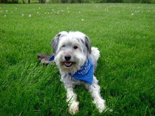 Benson5 500x375 Bearded Collie MCS Pets Cute As Hell Animals