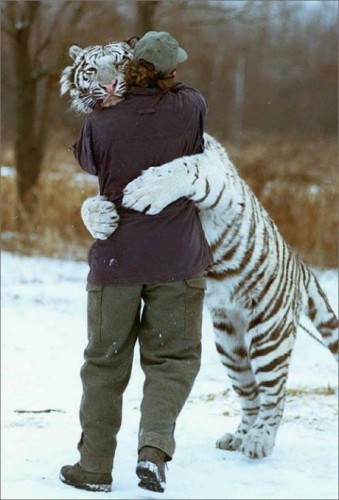 1257793636251 339x500 White tiger hugging guy Cute As Hell Animals