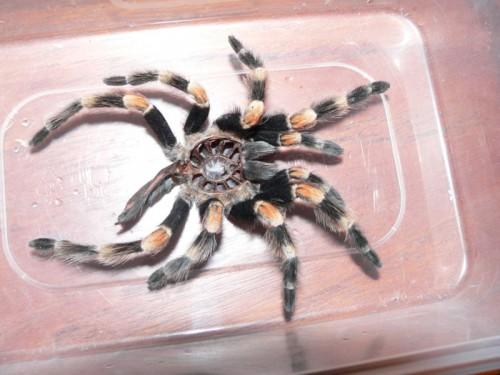 tarantula shed 500x375 Tarantula Shed Nature