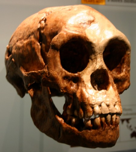 Homo floresiensis 449x500 Hobbits Are A New Human Species wtf Nature