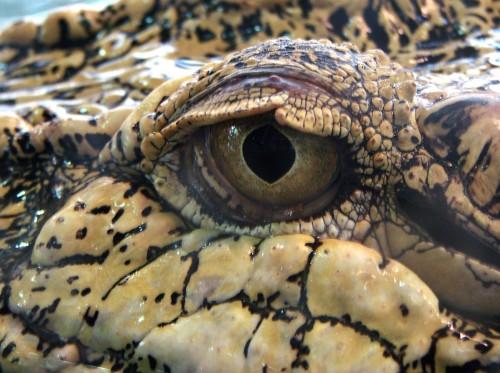Crocodile_marin_Thoiry_19801.jpg (1 MB)