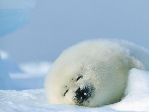 bs 500x375 Baby Seal Wallpapers Wallpaper Nature Cute As Hell Animals