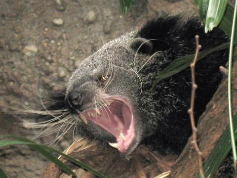 Stavenn Arctictis binturong 00 Its a bear! Its a cat! Its a bearcat! wtf Cute As Hell Animals