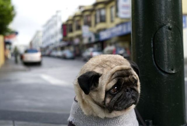 sad pug 01 sad doggy Sad :( Cute As Hell Animals