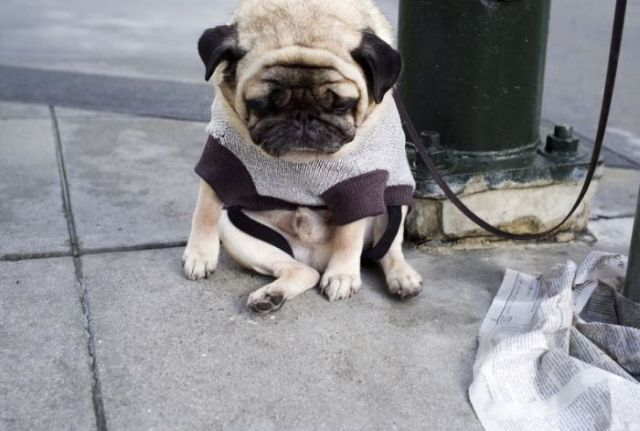 sad pug 03 sad doggy Sad :( Cute As Hell Animals