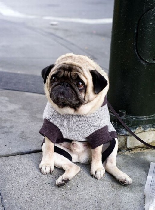 sad pug 04 515x700 sad doggy Sad :( Cute As Hell Animals