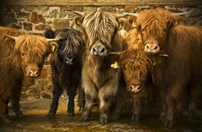 Highland cattle.jpg (618 KB)