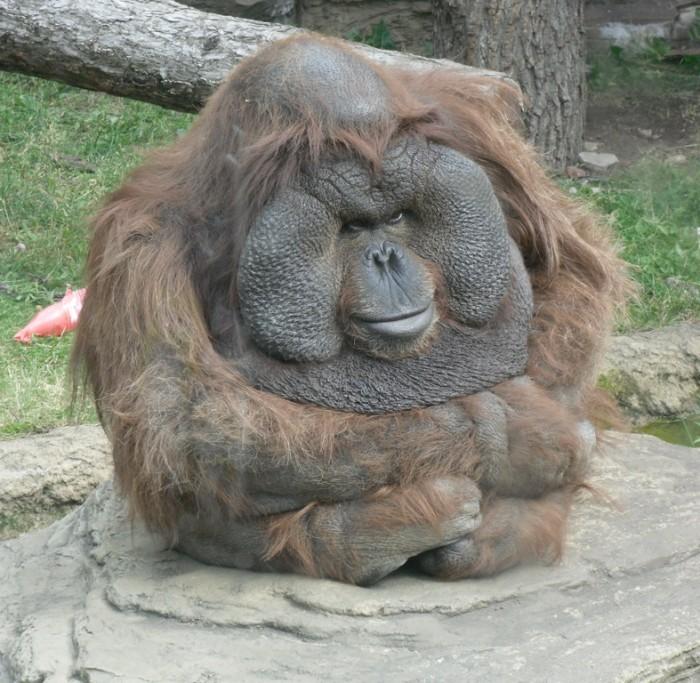 orangutan.jpg (245 KB)
