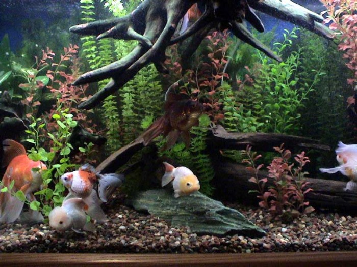 """Fancy Goldfish"" Aquarium Set-up"