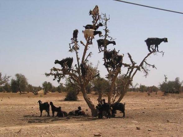 crazy_goats_17.jpg (75 KB)