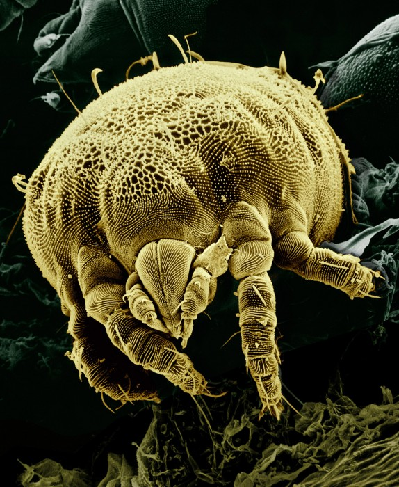 Yellow_mite_(Tydeidae)_Lorryia_formosa_2_edit2.jpg (732 KB)