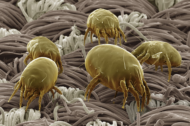 dust-mite-500-time.jpg (117 KB)