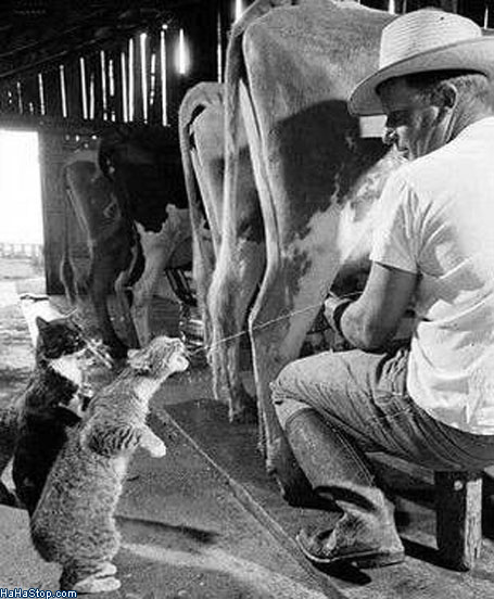 Cat_Drinking_From_Cow_Udder.jpg (72 KB)