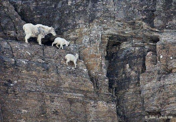 crazy_goats_21.jpg (104 KB)