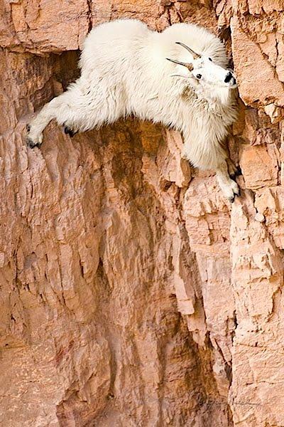 crazy_goats_22.jpg (88 KB)