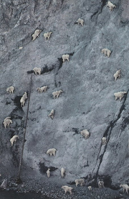 crazy_goats_26.jpg (126 KB)