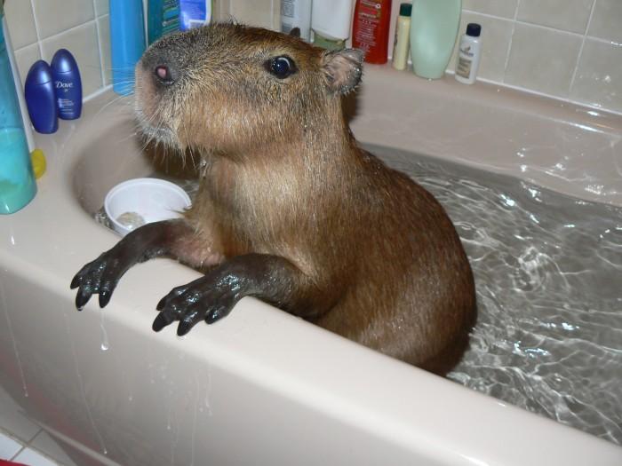 big guinea pig myconfinedspace