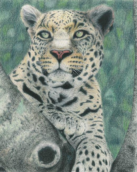 leopard Drawings by Draik MCS Art