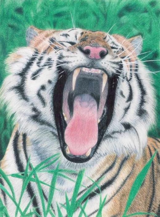 tiger 518x700 Drawings by Draik MCS Art