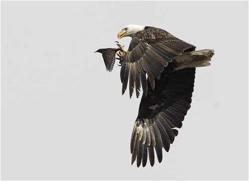 eagleprey_audobon.JPG (14 KB)